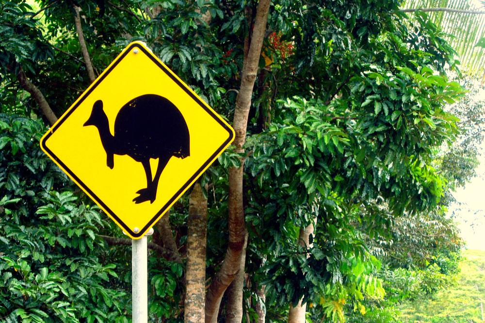 daintree-cassowary